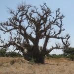 Arbre du Baobab