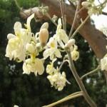 Fleurs de Moringa